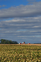 Sunflower field and barns <br />