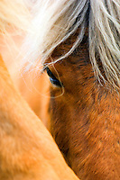 Close up of an eye of a Icelandic horse