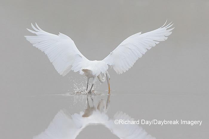 00688-02317 Great Egret (Ardea alba) fishing in wetland in fog, Marion Co., IL