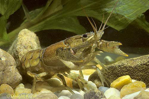1Y06-025z  Stream Crayfish - Cambarus bartoni