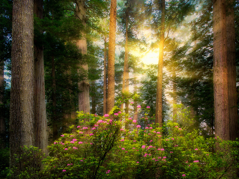 Redwood trees and blooming rhododendrons. Redwood National Park, California Light rays have been added