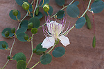 A caper flower, also called Flinders rose, Capparis spinosa, in bloom amid the ruins of Petra in Jordan.  Petra Archeological Park is a Jordanian National Park and a UNESCO World Heritage Site.