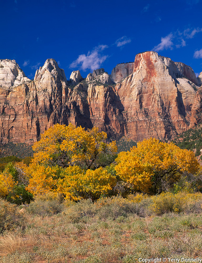 Zion National Park, UT<br /> Towers of the Virgin above an open meadow with fall colored Fremont cottonwoods (Populus fremontii)