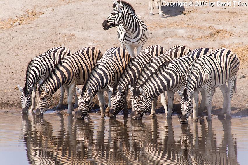 Zebra drinking, Chudob Waterhole, Etosha NP, Namibia