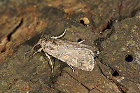 Small Mottled Willow - Spodoptera exigua