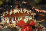 Atlantic Thorny Oyster, Spondylus americanus, Bivalvia