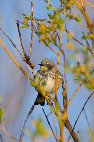Yellow-rumped warbler or Audubon's Warbler (Dendroica coronata) in willows along the Snake River, Grand Teton National Park, Wy.  June.