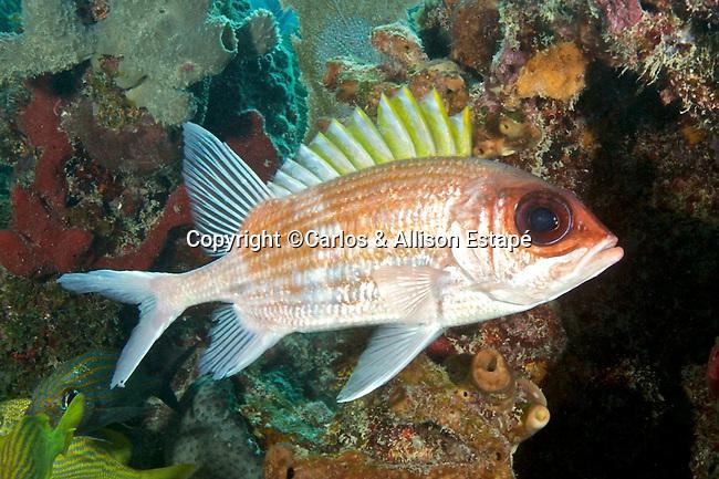 Holocentrus adscensionis, Squirrelfish, Florida Keys