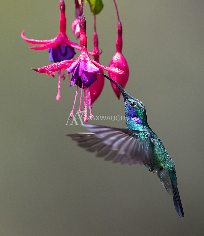 A common hummingbird species found in the gardens and on feeders in the highlands of Costa Rica.