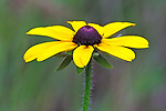 A Black-eyed Susan stands out against a colorful soft background.