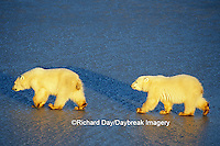 01874-01216 Polar Bears (Ursus maritimus) 2 cubs walking on frozen pond  Churchill  MB