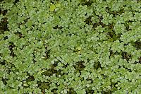 Wasserstern, Sumpf-Wasserstern, Callitriche palustris agg., Callitriche spec., Water Starwort
