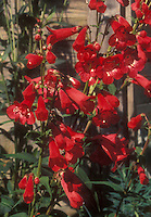 Penstemon Chester Scarlet in flower
