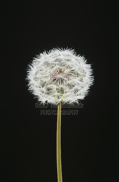 Dandelion (Taraxacum sp.), Raleigh, Wake County, North Carolina, USA