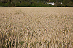 Wheat Field with House in Background on the Isle of Arran, Scotland