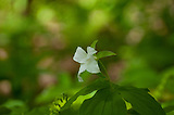 Large-Flowered white trillium on the trail side of max patch mountain on a fine sunny day