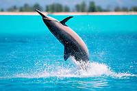 spinner dolphin, Stenella longirostris, Midway Atoll, Papahanaumokuakea Marine National Monumen, Northwestern Hawaiian Islands, Pacific Ocean