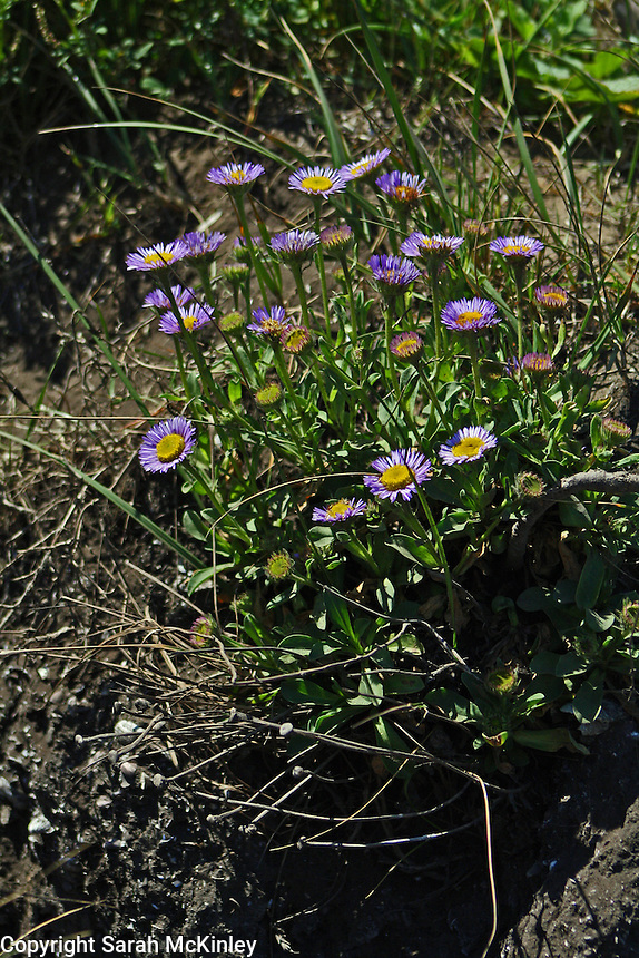 Light violet-colored seaside daisies growing at MacKerricher State Park near Fort Bragg on the Pacific Coast of Mendocino County in Northern California.