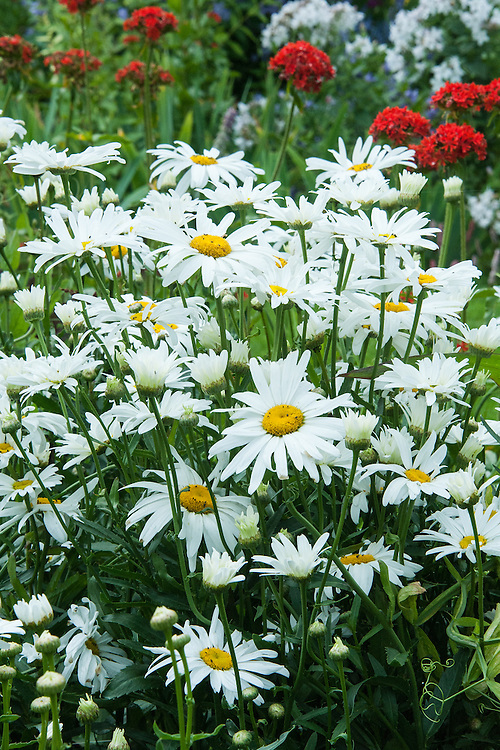 Leucanthemum maximum (syn. Chrysanthemum maximum), mid July. Also known as Max chrysanthemum, this is one of the wild chrysanthemums crossed to produce the popular garden hybrid known as the Shasta daisy (Leucanthemum × superbum).