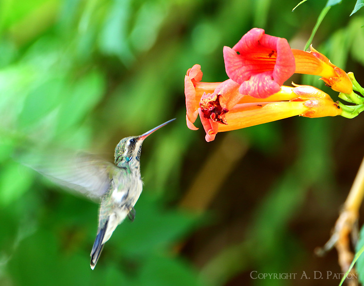 Subadult broad-billed hummingbird at trumpet creeper