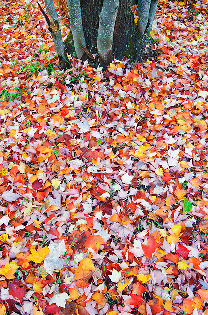 Fall is seen on the ground below a Maple tree near Council Lake in the Hiawatha National Forest in Alger County, Michigan