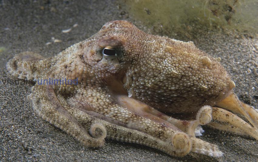 Day Octopus  (Octopus cyanea) Hawaii, USA