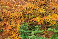 USA, Oregon, Portland, Hoyt Arboretum, Autumn color of American beech trees (Fagus grandifolia).