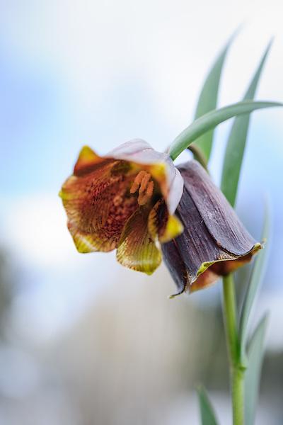Fritillaria pyrenaica 'Cedric Morris'