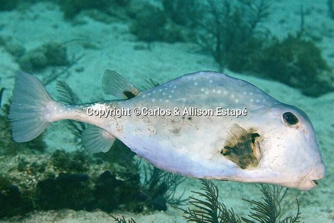 Lactophrys trigonus, Buffalo trunkfish, Florida Keys
