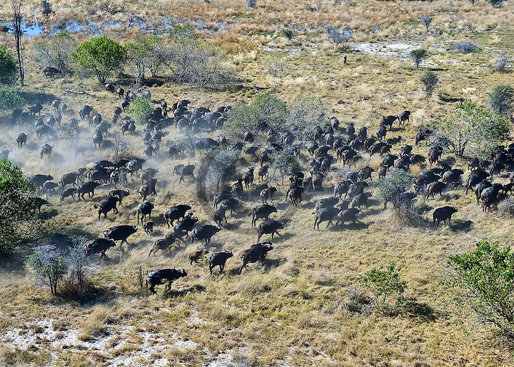 aerial of Okavango with buffalos, antelops running across reeds and savanna