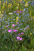 Mount Washburn, in a good year, can have spectacular wildflowers. Here forget-me-nots (blue) bloom with yarrow (white), Bracted Lousewort (yellow) and sticky geraniums (pink).