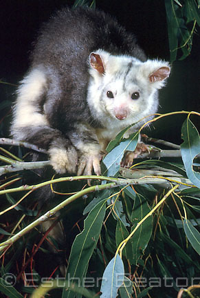 Greater Glider (Petauroides volans) highland forest of New South Wales. Threatened species