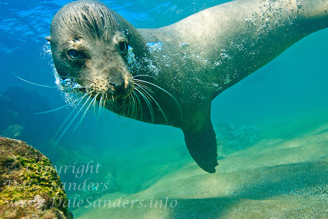 A young California Sea Lion (Zalophus californianus) swims underwater in the ocean off the Galapagos Islands of Ecuador.