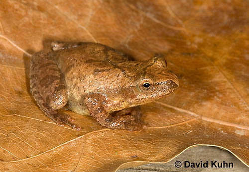 0302-0906  Spring Peeper Frog, Pseudacris crucifer (formerly: Hyla crucifer)  © David Kuhn/Dwight Kuhn Photography