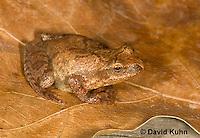 0302-0906  Spring Peeper Frog, Pseudacris crucifer (formerly: Hyla crucifer)  © David Kuhn/Dwight Kuhn Photography