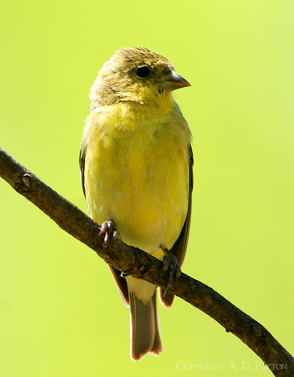 Adult female lesser goldfinch