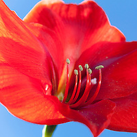 A red Amaryllis with stamens and glimpses of a blue sky background.  Image is a square, 1X1 aspect ratio.