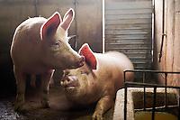 ENG : Butchering a Pig homemade in traditional and ritual italian culture. This ritual is a very violence for the pig and in Italy is border line for legality. Killing the pig in private form is not allowed by the laws, but tradition is more strongest than the law, and in secret families continue to kill the pig In the photo a farm preparing to kill a pig Teramo December 07 2013. Photo credit Adamo Di Loreto/BuenaVista*photo<br /> <br /> ITA : In Italia si continua a fare, come da tradizione e retaggio popolare, la macellazione a domicilio del maiale con lo scopo di  preparare le conserve da usufruire tutto l'anno. Attualmente tale pratico con il classico &quot;scannaturo&quot; &egrave; illegale se prima il maiale non viene storidito con apposite attrezzature, Teramo 07/12/2013. In foto i maiali nella stalla. Foto di Adamo Di Loreto/BuenaVista*photo