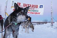 at the finish line of the 2014 Jr. Iditarod Sled Dog Race at Happy Trails Kennel, Big Lake, Alaska<br /> Sunday February 23, 2014 <br /> <br /> Junior Iditarod Sled Dog Race 2014<br /> PHOTO BY JEFF SCHULTZ/IDITARODPHOTOS.COM  USE ONLY WITH PERMISSION