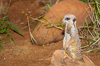 meerkat, suricate, Suricata suricatta, Africa (c)