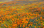 Antelope Valley, California: California Poppies, California Coreopsis, lupine and Owl's clover blooming in fields near Lancaster, Los Angeles County, Mojave Desert