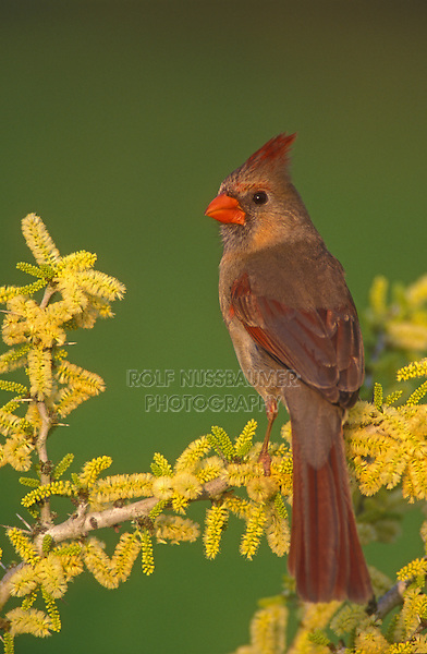 Northern Cardinal, Cardinalis cardinalis,female on blooming Blackbrush Acacia (Acacia rigidula) , Lake Corpus Christi, Texas, USA