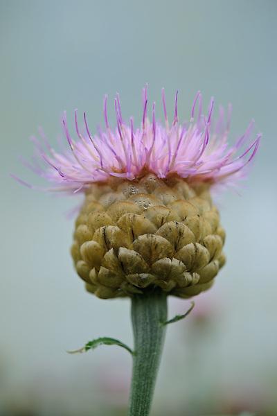 Centaurea pulchra ' Major '
