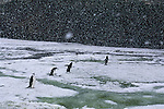 Fearless in the lead position, with both enthusiasm and conviction seeming to waver in those bringing up the rear, a foursome of intrepid chinstrap penguins boldly go to their hillside rookery.<br /> Deception Island, Antarctic Peninsula