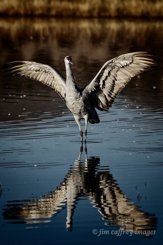 A Sandhill Crane spreads his wings in preparation for take-off at the North Chupadera Pond, Bosque del Apache National Wildlife Refuge.