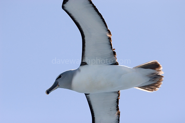 Salvin's Albatross or mollymawk, Southern Ocean, Thalassarche salvini, near the coast of New Zealand, Southern Ocean.