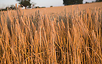 Close-up of heavy heads of golden barley hanging down from stalks ready for harvesting, shot of field with focus on foreground, Shottisham, Suffolk, England, UK