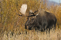 Moose, Alces alces, bull, Grand Teton NP,Wyoming, September 2005