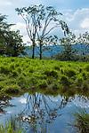 A tree with a colony of nests of Montezuma's Oropendola, Psarolcolius montezuma, near Arenal in Costa Rica.