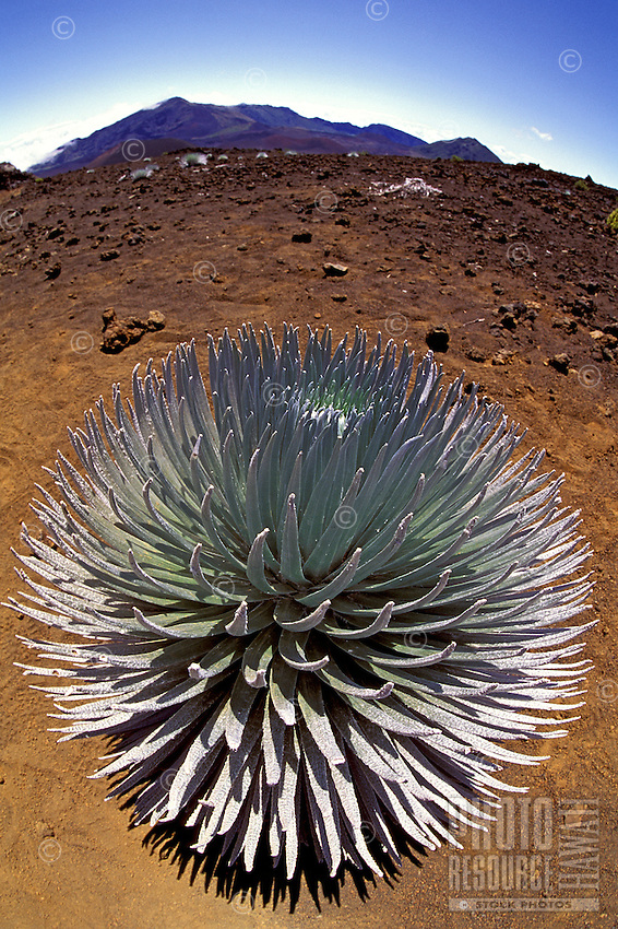 A beautiful silversword in full bloom (argyroxiphium sandwicense), an endangered plant endemic to the Hawaiian islands, here at Haleakala National Park.